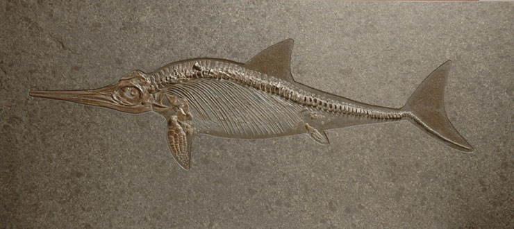 a description of everything about ichthyosaur We eventually realised the lilstock ichthyosaur was so big it could be the largest of its kind ever discovered, comparable to a blue whale in length.